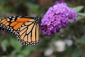 monarch-1058974_960_720