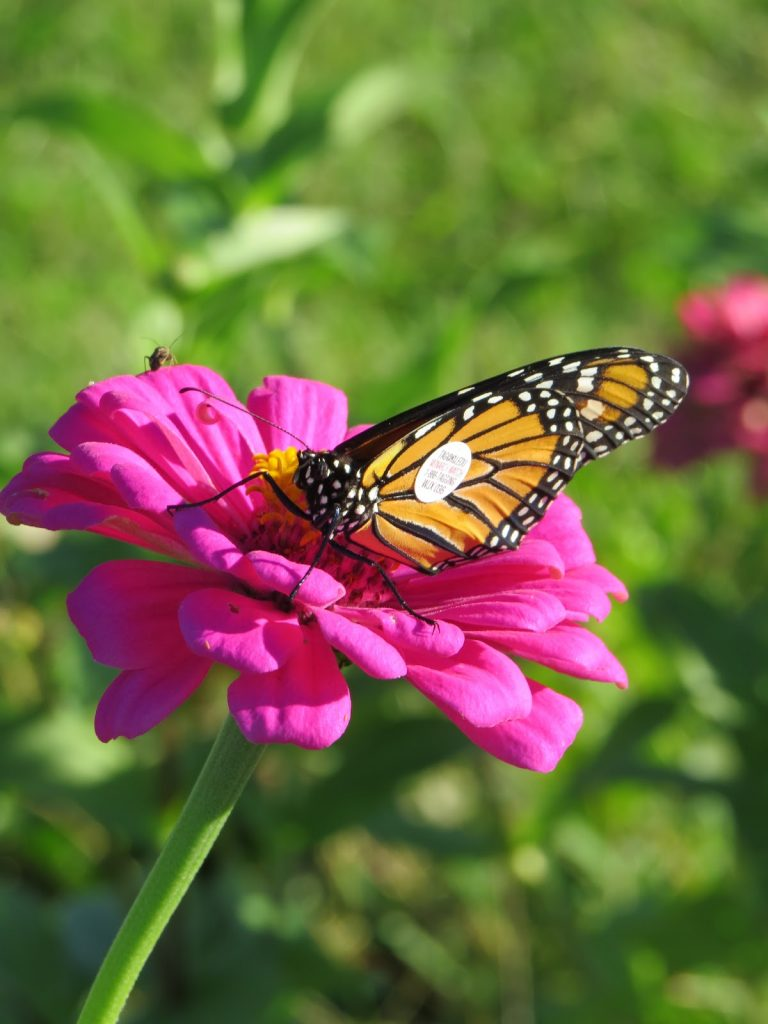 monarch-catch-3