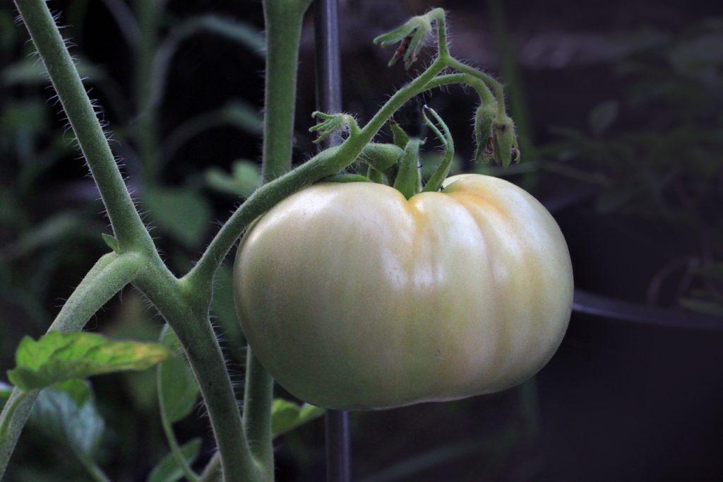 tomato-1514524_1280